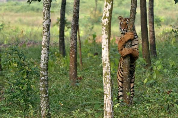 bengal tiger-bangabandhu safari park, gazipur, dhaka-sohelee