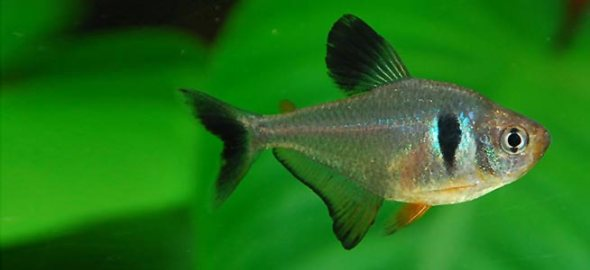 Black Phantom Tetra - Sohelee