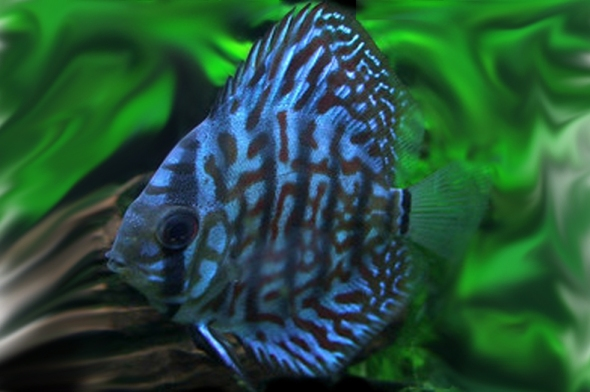 Blue Turquoise Discus- Sohelee
