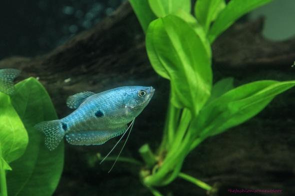 Gourami- My Under-Water World- Sohelee