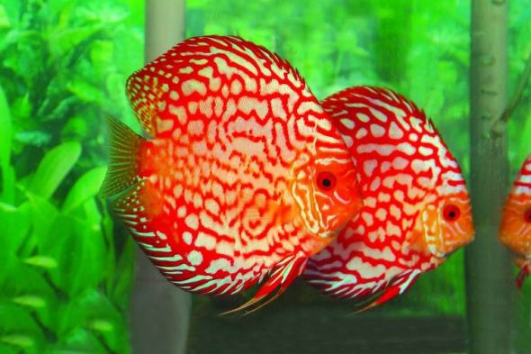 Leopard Skin Discus- Sohelee