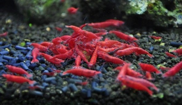 Red Cherry Shrimp - Sohelee1