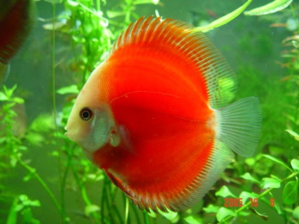 Red Melon Discus - Sohelee