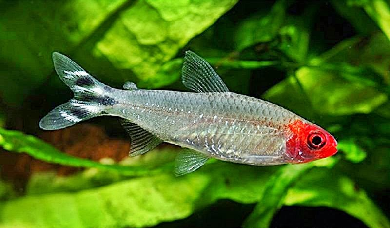 The aquatic plant society sawbwa resplendens asian for Tetra acquario